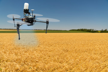 Wall Mural - Drone sprayer flies over a wheat field. Smart farming and precision agriculture