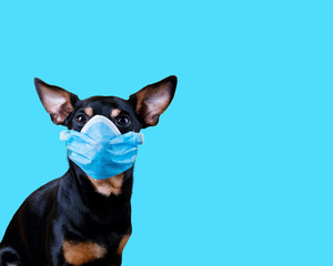 Small Black And Tan Dog Wearing a Medical Face Mask Against Coronavirus COVID-19 isolated on blue background. Conceptual Image with copy space.