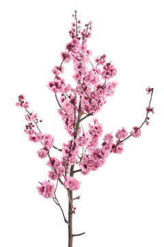 Pink cherry blossom branch isolated on white background.