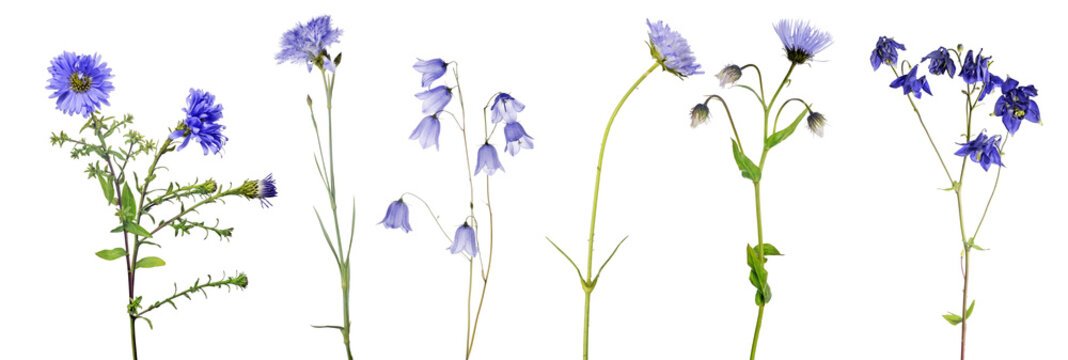 six isolated blue flowers with stems
