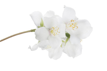 jasmine isolated branch with large fine blooms