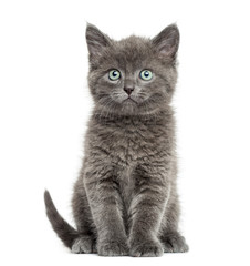 Wall Mural - Grey British Shorthair sitting, 7 weeks old, isolated on white