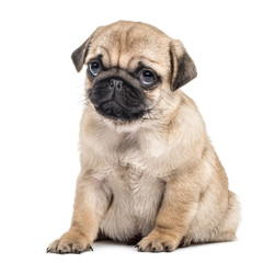 Wall Mural - Pug puppy sitting, isolated on white