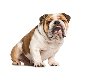Wall Mural - English Bulldog, dog sticking the tongue out, isolated on white