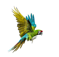 Tuinposter Papegaai Military macaw, Ara militaris, flying, isolated on white