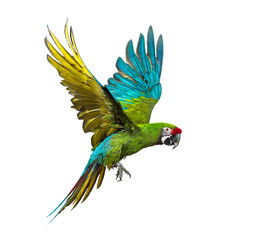 Poster Perroquets Military macaw, Ara militaris, flying, isolated on white