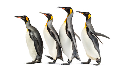 Wall Mural - group of King penguins walking in a row, isolated