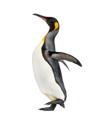 Side view of a king penguin walking, isolated on white
