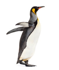 Photo sur Toile Pingouin Side view of a king penguin walking, isolated on white