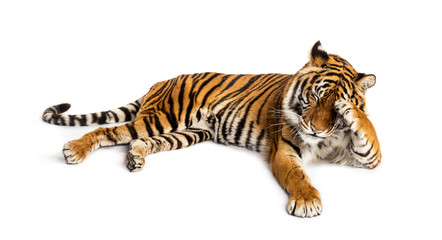 Fotorolgordijn Tijger Shy tiger lying down, big cat,