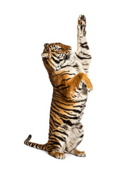 Ingelijste posters Tijger Male tiger on hind legs, big cat, isolated on white
