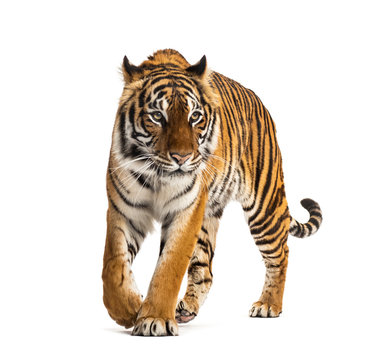 Front view of a tiger walking, big cat, isolated on white