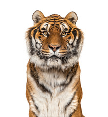 Close-up on a male tiger facing at the camera, big cat, isolated on white