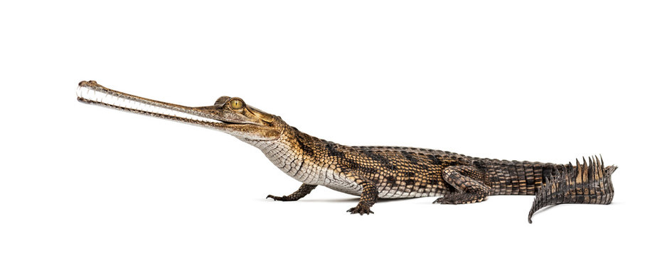 Young Fish-eating crocodile, Gavial, Gavialis gangeticus