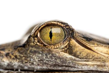 Wall Mural - Close-up on a eye of a Fish-eating crocodile, Gavial, Gavialis g
