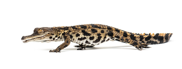 Poster Crocodile Walking Young West African slender-snouted crocodile