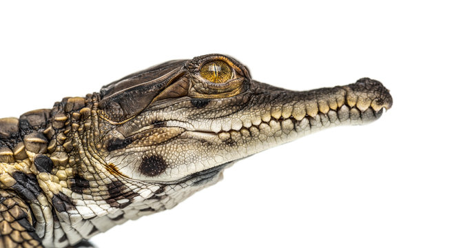 Young West African slender-snouted head crocodile