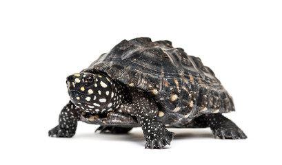 Black pond turtle, Geoclemys hamiltonii, isolated Wall mural