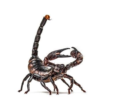 Emperor scorpion defending, Pandinus imperator, isolated