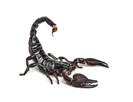Emperor scorpion attacking, Pandinus imperator, isolated