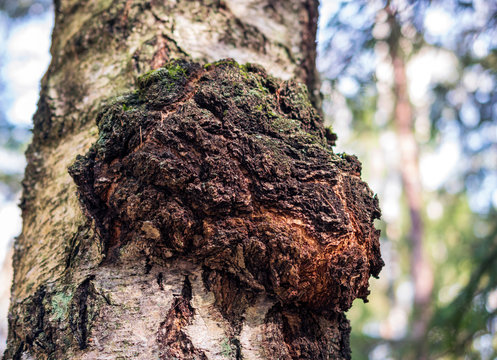 Chaga mushroom on the birch trunk. Dried chaga slowing the aging process, lowering cholesterol, preventing and fighting cancer are rich in a wide variety of vitamins, minerals, and nutrients.