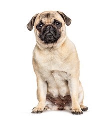 Wall Mural - Sitting Pug, isolated on white