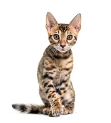Wall Mural - Young Bengal cat staring, isolated on white