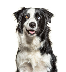 Fototapete - Close-up on a Panting black and white Border Collie, minnow eyes