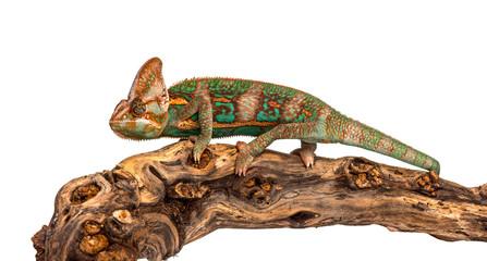 veiled chameleon on a branch, Chamaeleo calyptratus, isolated Wall mural