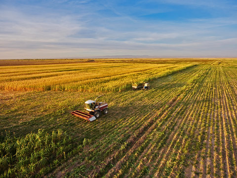 Harvesting of Sorghum. Combine harvesters agricultural machines collecting Sorghum on the field. View from above.