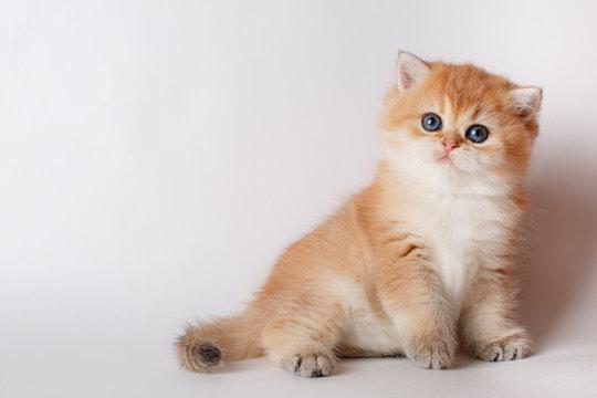 small cute kitten Golden chinchilla British on white background
