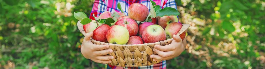 Poster Trees child picks apples in the garden in the garden. Selective focus.