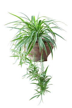 Spider Plant or Chlorophytum bichetii (Karrer) Backer in brown pot isolated on white background included clipping path.