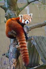 View of a red panda (ailurus fulgens)