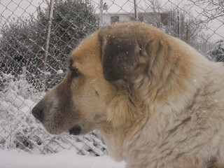 Kangal big guard dog