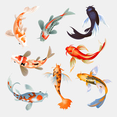 Koi fish vector illustration japanese carp and colorful oriental koi in Asia set of Chinese goldfish and traditional fishery isolated background