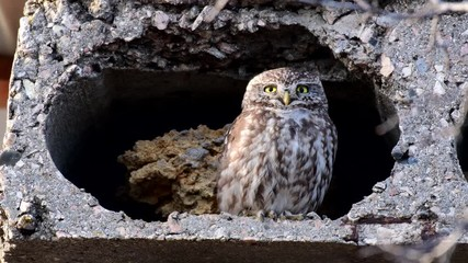 Fototapete - Two small owls in their natural habitat near a burrow (Athene noctua) Singing birds