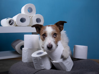 Dog with toilet paper. Jack Russell Terrier is surprised. Panic, virus, pandemic