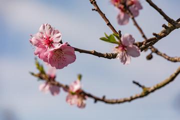 Markante rosa Blüten auf einem Kirschbaum in Deutschland