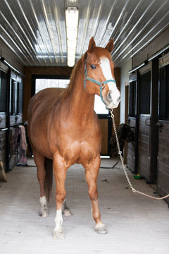 Brown horse with a white face standing in the aisle of a barn stable