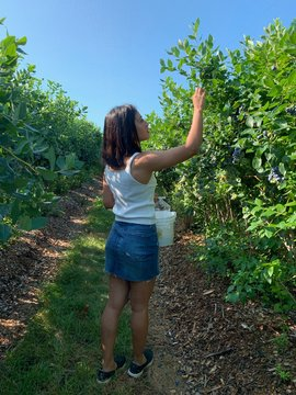 Woman picking Bluerberries at blueberry farm in Nashua New Hampshire USA
