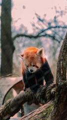 Fotorolgordijn Panda Red panda
