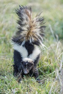 Striped Skunk (Mephitis mephitis) defensive spraying posture. Monte Bello Open Space Preserve, Santa Clara County, California, USA.