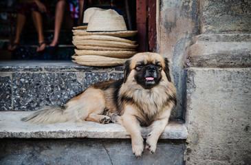 Dog on the streets of Havana, Cuba