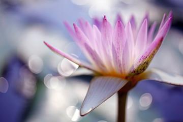 Garden Poster Lotus flower Close up shot of pink beautiful lotus petals