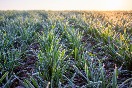 Winter crops, wheat damaged by early spring frosts, frozen plants in the meadow at sunrise, germinated grain in agricultural fields covered with hoarfrost, sowing wheat campaign in the spring.