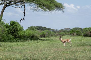 Door stickers Antelope Gazelle im Nationalpark von Tansania
