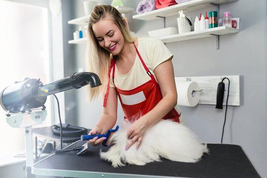 Female groomer brushing maltese dog at grooming salon..