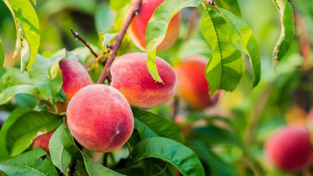 Beautiful peach fruit on a tree branch