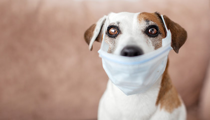 Spoed Fotobehang Hond Dog with a medical mask is quarantined at home
